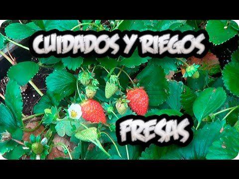 Cultivo De la Fresa : Cuidados Y Como Regar Las Fresas O Frutillas || La Huertina De Toni - YouTube