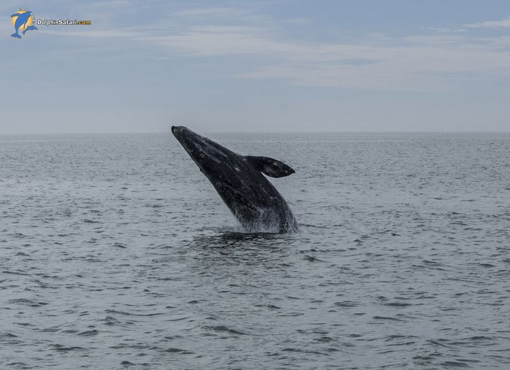 Naturalist Mark Tyson shot this sequence on a exuberant Gray Whale, aboard Manute'a yesterday just outside of the Dana Point Harbor. We love breachers! | www.dolphinsafari.com  #whalewatching #danapoint #california