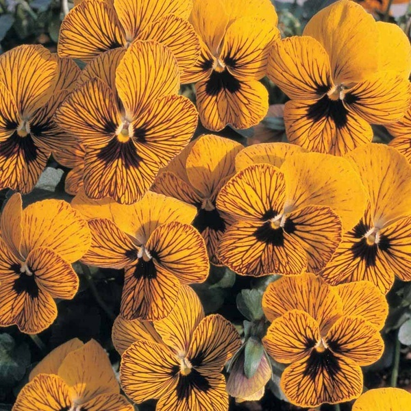 black and gold pansies