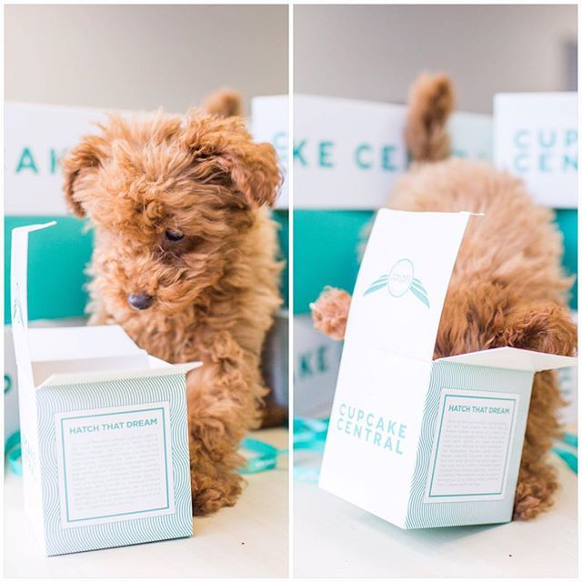 Instagram photo by @lifeofjinkee (Jinkee (Red Toy Poodle♀)) | Iconosquare