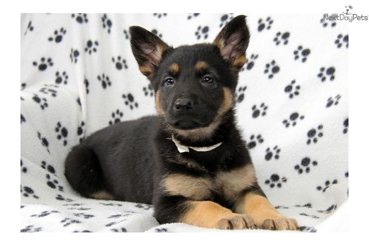 Meet Wisteria a cute German Shepherd puppy for sale for $895. Wisteria / German Shepherd