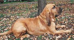 Cão de Santo Humberto ou Bloodhound