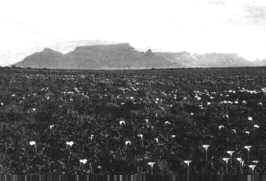 A view difficult to beat - here an old wartime photograph of the spread of Arum Lilies on Robben Island