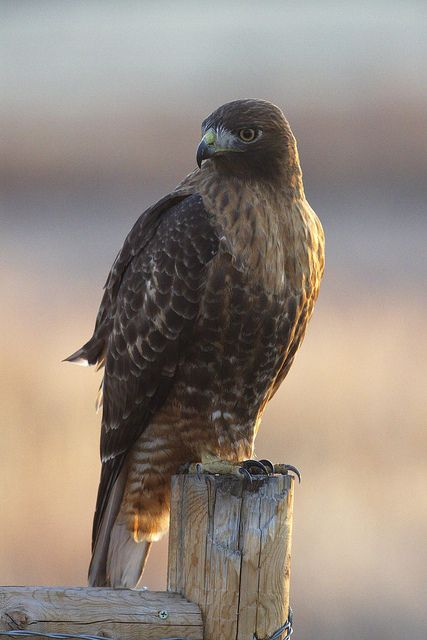 Dark Morph Red-Tailed Hawk by dcstep on Flickr
