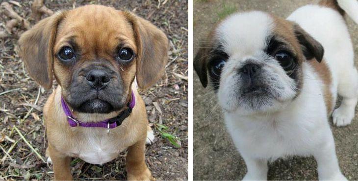 Top 10 des plus beaux (et étonnants) chiens croisés Carlin