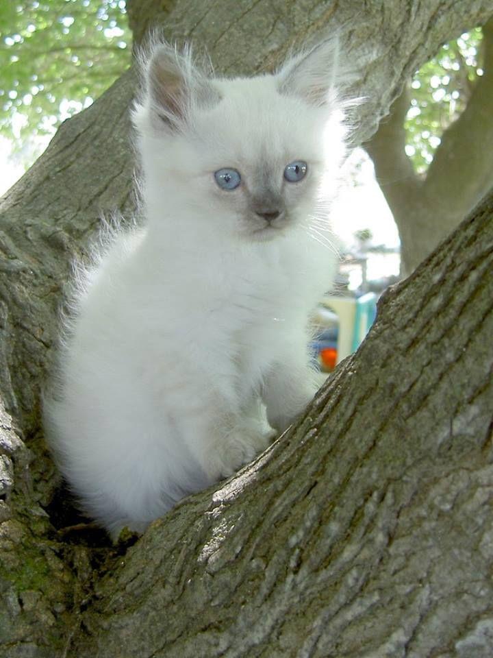 Lilac Point Kitten Ragdoll Kitten Kitten Kittens