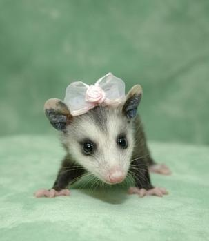opossum SO CUTE!   My girl is penny poo,  she runs the house at night. Hangs on to my long hair. I love her