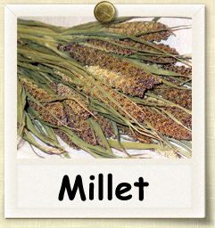 Get started on growing millet in your spring garden. My tip of the week podcast gives you tips and other resources. More links on my website.