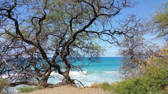Gnarly trees, Hawaii