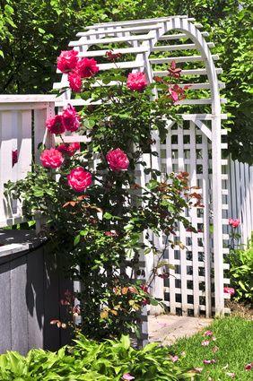 Pnoucí růže a obecně popínavé rostliny patří mezi zahrádkáři k nejpopulárnějším rostlinám. Můžou za to krásně barevné načechrané květy a lehká příjemně omamná vůně. Pnoucí růže lze v základu rozdělit na dvě hlavní skupiny. Tu první tvoří pnoucí růže, pro které jsou typické méně ohebné pruty, bohaté květy a poměrně dlouhá doba kvetení. Druhou skupinu … Pokračování textu Pnoucí růže