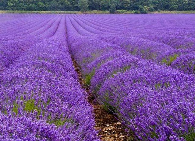 Lavender field in Fredricksburg, TX.