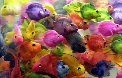 Resultados de la Búsqueda de imágenes de Google de http://img.depeces.com/wp-content/uploads/2012/02/peces-de-colores1.jpeg