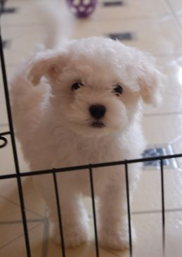 Bolognese are precious little white fluffy dogs!  And to top it off they are non-shedding and hypo-allergenic!