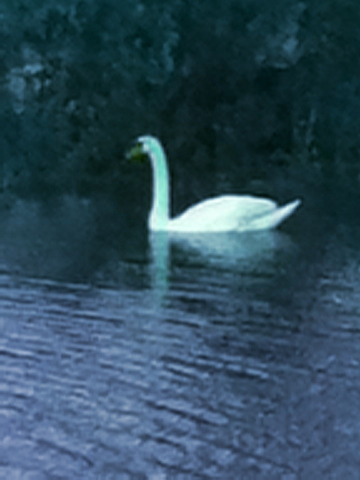 A picture of a swan in a large pond