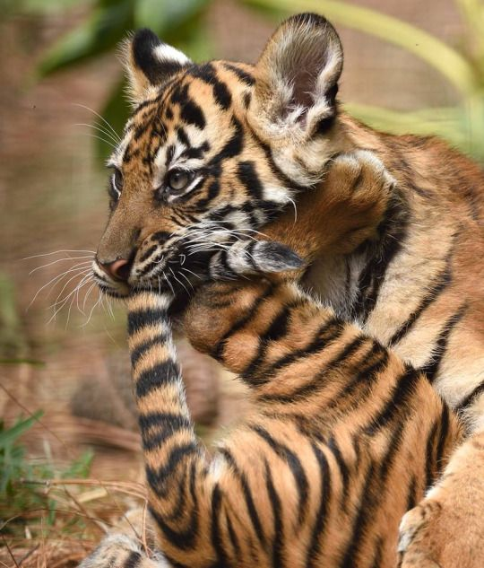 Tiger eating his paw & tail...