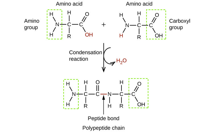 This condensation reaction forms a dipeptide from two amino acids and leads to the formation of water.