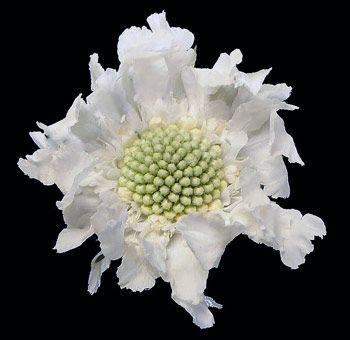 White Scabiosa Flower | Buy Wholesale Scabiosa Flowers for Weddings