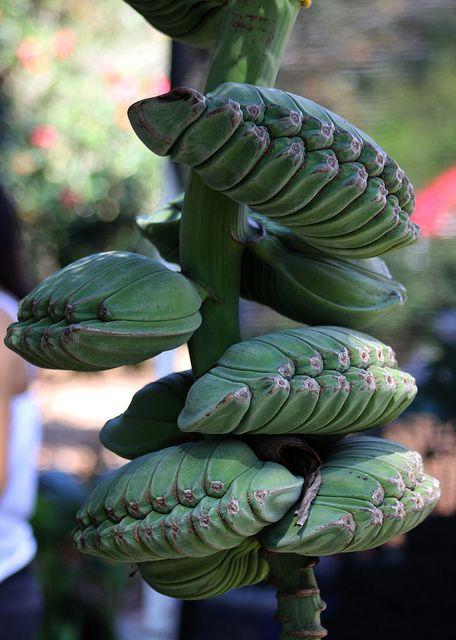 Bananas!! Banana #12: PRAYING HANDS    Nature's unique creation, a stalk of Praying Hands Banana.  Musa spp.  Family Musaceae  Vendor's display, Harry P. Leu Gardens, Orlando, Florida, USA.