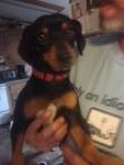 Brewster is an adoptable Dachshund Dog in Manchester, CT. Brewster is a dachshund mix under 1yr. Very playful and loving. Gets along with all dogs and people. Wonderful for children. He is hw negative...