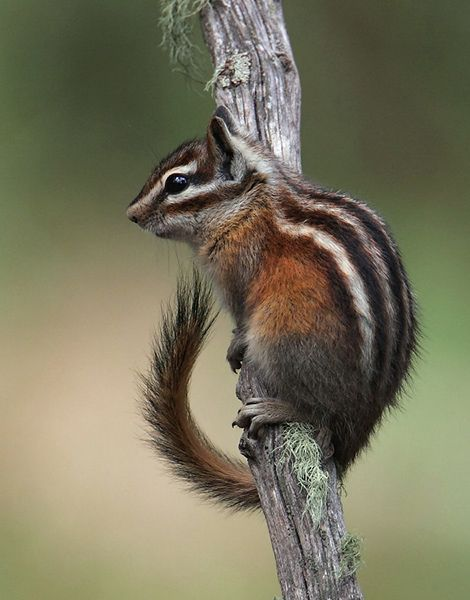 Allen's Chipmunk (Tamias senex)