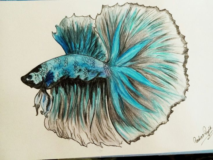 #bettafish #betta #bettafishart