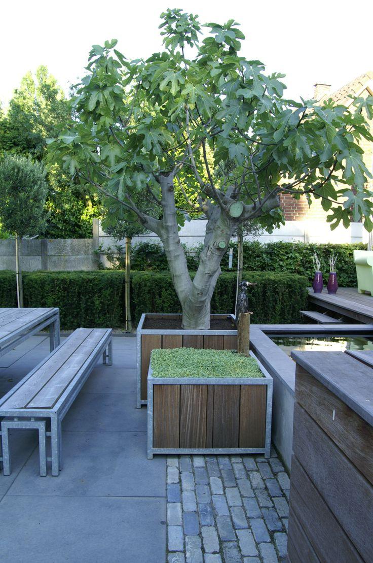 Stadstuin   Moderne tuin met strakke belijning. # vijgenboom