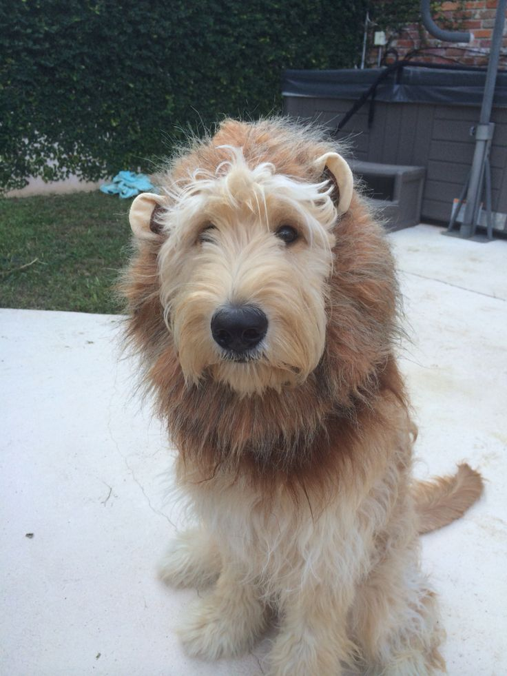 Lion costume for dogs. Adorable golden doodle.