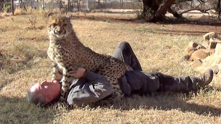 Loved By An Affectionate African Cheetah - Man & Cheetah Are Best Friend...