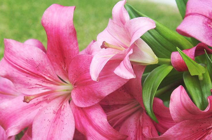 Liliesinatube provides gift delivery of beautiful lilies flowers at fixed price in Australia.