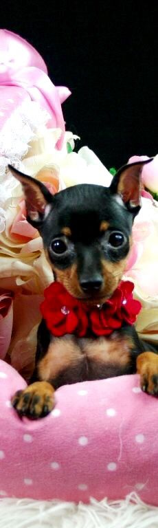 I'm the cutest Min Pin in Beverly Hills!                              …