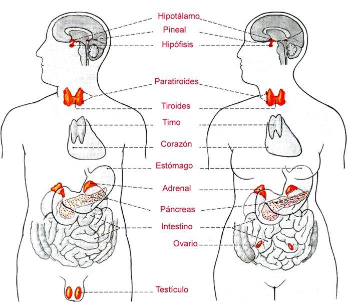 Sistema Endocrino Sistema Endocrino Cuerpo Humano Glandulas Exocrinas