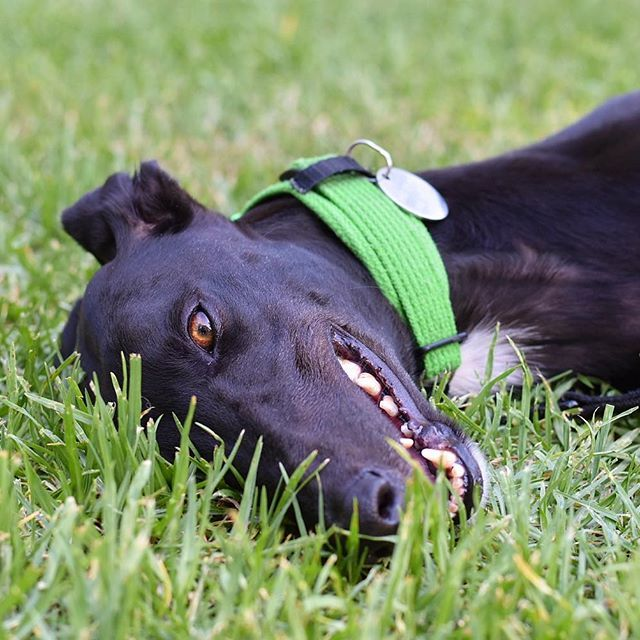 Look Out It S A Grass Shark Greyhoundsofmelbourne