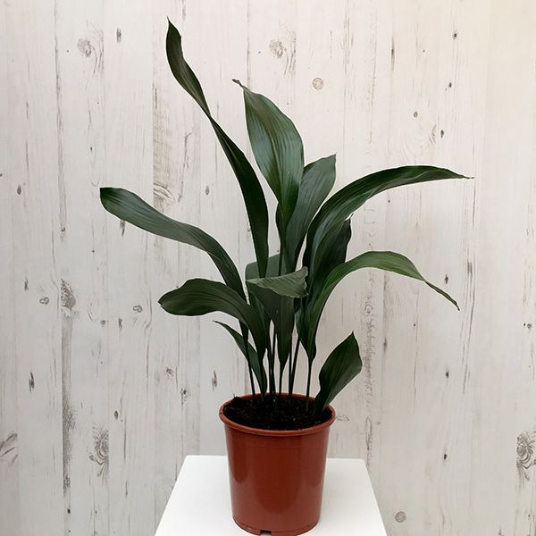 Cast Iron Plant will tolerate darkness so suitable in shady bedrooms.