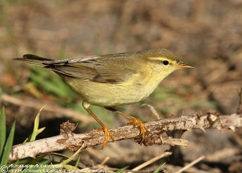 OUESSANT DIGISCOPING - Pouillot fitis - Willow Warbler - Phylloscopus trochilus