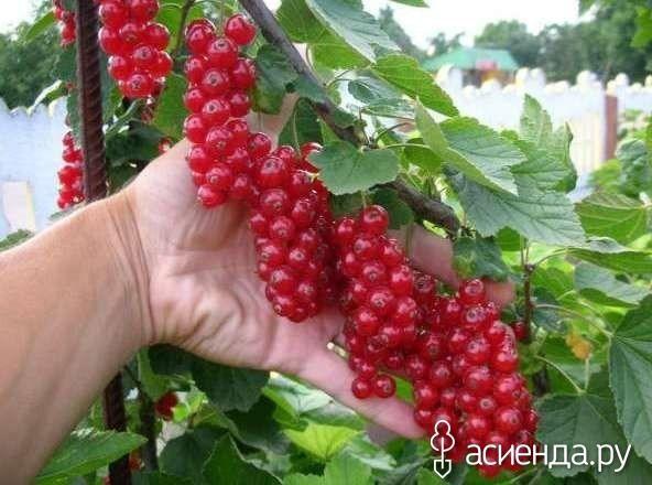 В десять раз больше урожай малины и смородины!: Группа Плодовые деревья и кустарники