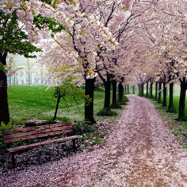 Spencer Smith Park, Burlington, Ontario during the spring. #blossoms #Canada #travel