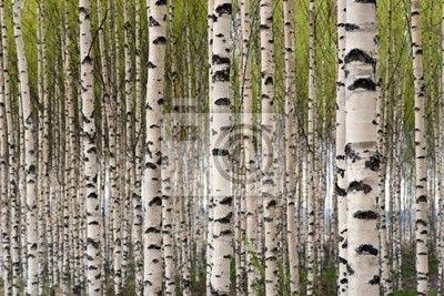 Wall Mural birch trees - birch - tree • PIXERSIZE.com choose your size