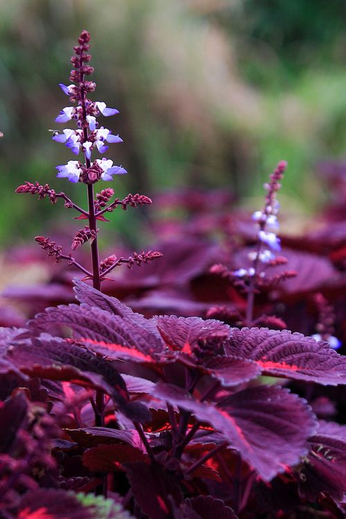 Coleus ~ Grow in moist but well-drained soil rich in organic matter. Coleus need a sheltered location in full sun or part shade and ample water in dry weather. Pinch off shoots and flower stalks to encourage good form and to avoid detracting from the foliage.