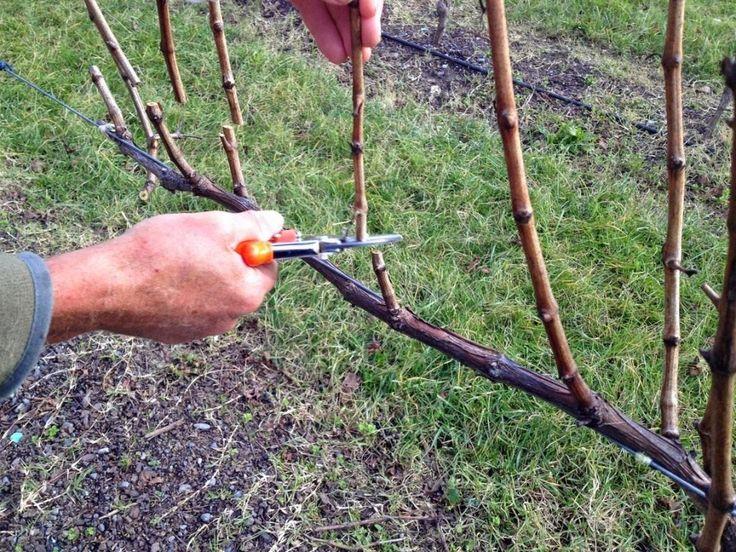 Ежегодно дикие формы винограда могут давать прирост лиан до 40 м, культурные до 5-10 м. Без обрезки снижается морозоустойчивость куста, измельчаются ягоды и кисти, может и вообще не сформироваться урожай. Поэтому обрезка – важный агротехнический прием и от его проведения зависит урожайность лозы и е