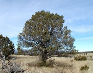 Pinon Pines Are Native Trees In Our Part Of Arizona