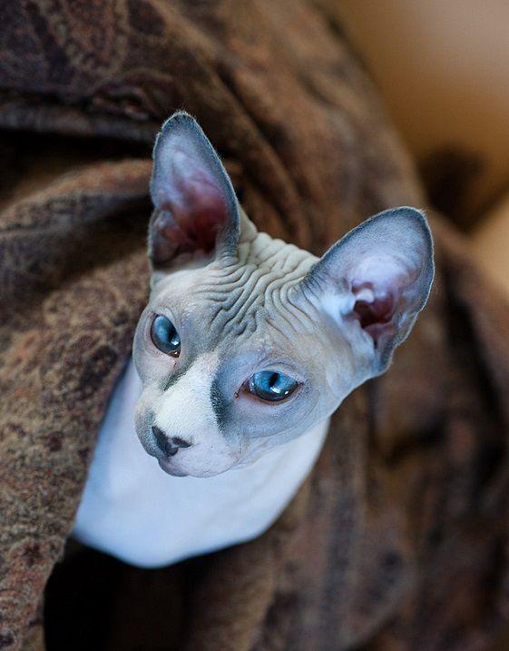 Лысый кот. Порода канадский сфинкс. Фото