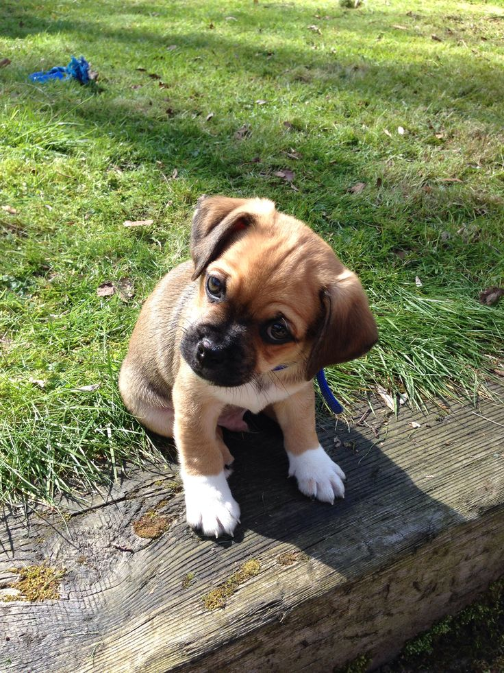 Cute jug puppy dog! Jack Russell cross pug! #jug #jackrussell #pug #pup #cute #puppyphotography