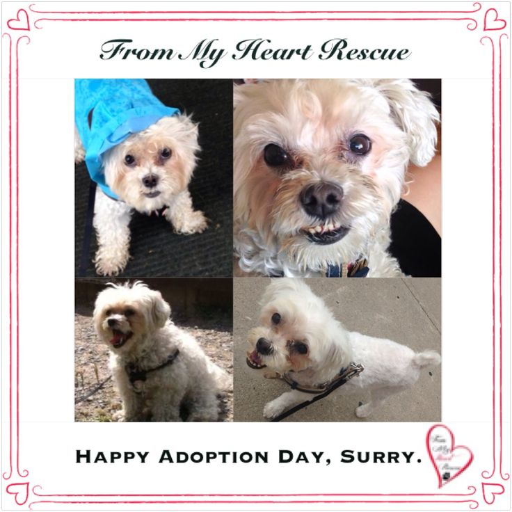 #Please ❤️+ #Pin #FMHR #FromMyHeartRescue #RescueWithoutBorders #SavingOneDogAtaTime ~ #Happy #Adoption #Day #CurlySue #aka #Surry *Many thanks to Lisa and family, for all their fabulous volunteer work behind the scenes. ❤️ *Thank you *Info, Foster, Adoption, PayPal & e-transfer: frommyheartrescue@hotmail.com *Our Vets: Brock St. Animal Hospital/FMHR 905-430-2644 *Fundraising & Volunteering: FMHRfundraising@hotmail.com    *Find Us: FB, Twitter, IG, YouTube & Google+