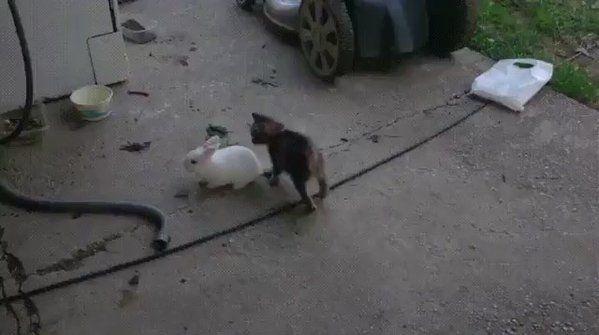 #Cats  #Cat  #Kittens  #Kitten  #Kitty  #Pets  #Pet  #Meow  #Moe  #CuteCats  #CuteCat #CuteKittens #CuteKitten #MeowMoe      A bunny & kitten playing tag  ...   https://www.meowmoe.com/42988/