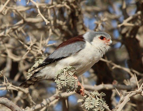 Pygmy falcon #Namibia