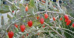 Goji-Beeren, eines der beliebtesten Superfoods, kannst du auch einfach selbst anbauen und ernten