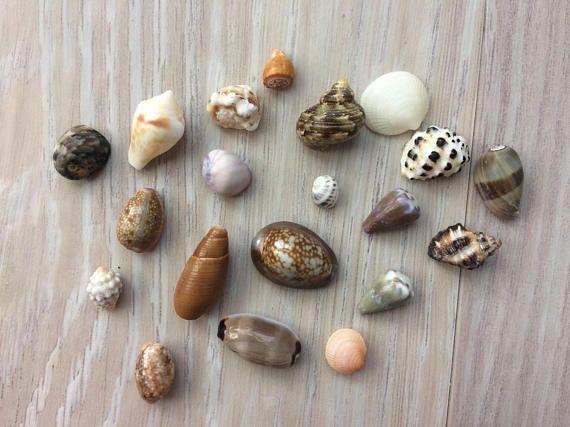 Deze mooie schelpen van de Hawaiiaanse bleken tuimelen in de branding op noordkust van Oahu.  Ze zijn perfect voor zeeschelp ambachtelijke projecten zoals zeeschelp sieraden of versieren fotolijsten, spiegels of magneten.  De schelpen die hier afgebeeld zijn de schelpen die u ontvangt.