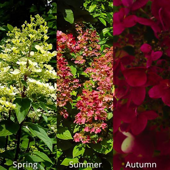 Fire and Ice Hydrangea For Sale Online | The Tree Center