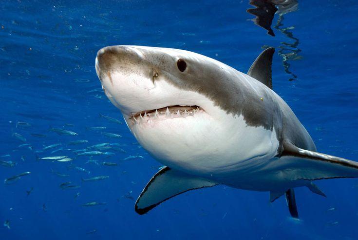 Акулы длиной около 3 - 4 метров были замечены в районе побережья Сансет-Бич, примерно в 24 километрах к северу от Корона-дель-Мар-Стейт-Бич, где хищная рыба на прошлой неделе напала на 52-летнюю женщину. Сейчас пострадавшая восстанавливается...