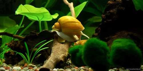 Best 25 aquarium snails ideas on pinterest plant fish for Snails in fish tank